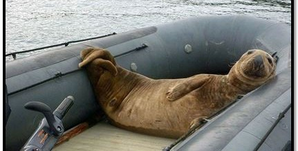The Dinghy Stealing Seal