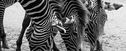 Water & Nature – Why do Zebras have Stripes?
